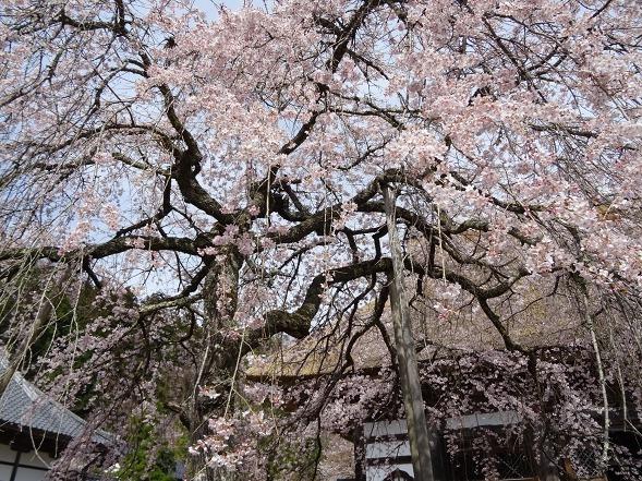 綾部安国寺の枝垂れ桜_b0299042_15232140.jpg