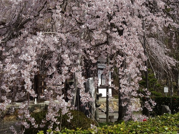 綾部安国寺の枝垂れ桜_b0299042_15232772.jpg