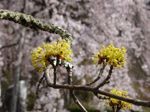 綾部安国寺の枝垂れ桜_b0299042_15233200.jpg