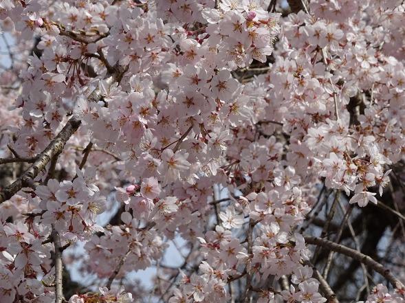 綾部安国寺の枝垂れ桜_b0299042_15233643.jpg