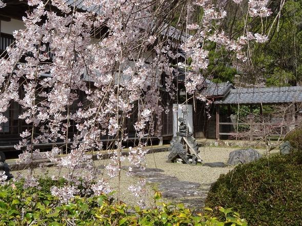 綾部安国寺の枝垂れ桜_b0299042_15234388.jpg