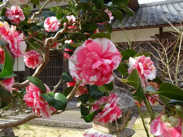 綾部安国寺の枝垂れ桜_b0299042_15235123.jpg