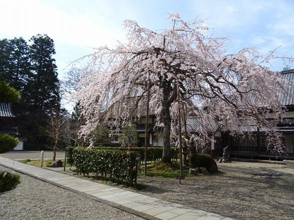 綾部安国寺の枝垂れ桜_b0299042_15235937.jpg