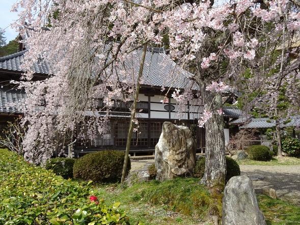 綾部安国寺の枝垂れ桜_b0299042_15240844.jpg