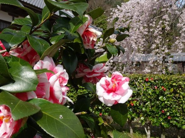 綾部安国寺の枝垂れ桜_b0299042_15241553.jpg