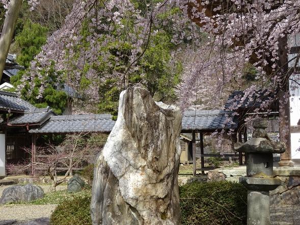 綾部安国寺の枝垂れ桜_b0299042_15242271.jpg
