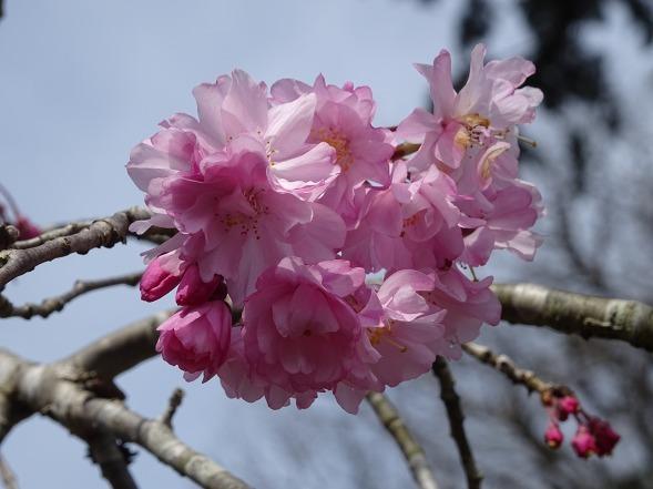 綾部安国寺の枝垂れ桜_b0299042_15244934.jpg