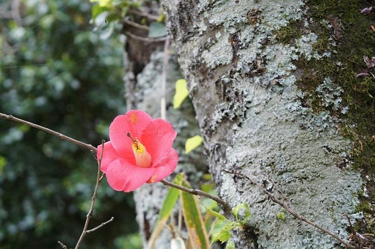 木から木が生える現象・・ 満開の椿_a0318954_17423008.jpg