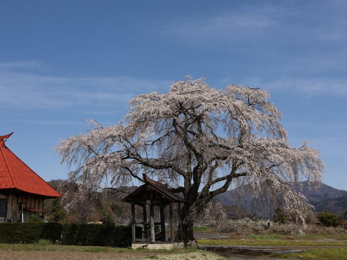 桜だより(26) 沼田市 天照寺のしだれ桜 (2021/4/8撮影)_b0369971_16590500.jpg