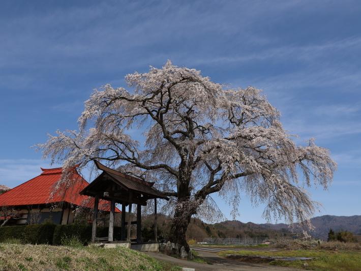 桜だより(26) 沼田市 天照寺のしだれ桜 (2021/4/8撮影)_b0369971_17003023.jpg