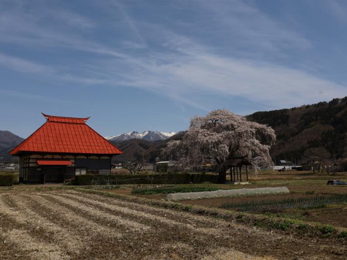 桜だより(26) 沼田市 天照寺のしだれ桜 (2021/4/8撮影)_b0369971_17020889.jpg