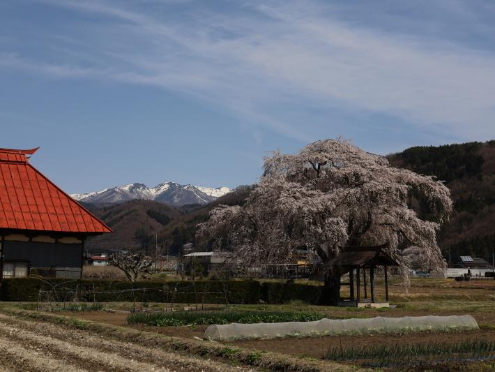 桜だより(26) 沼田市 天照寺のしだれ桜 (2021/4/8撮影)_b0369971_17021857.jpg