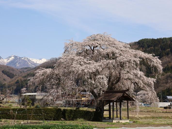 桜だより(26) 沼田市 天照寺のしだれ桜 (2021/4/8撮影)_b0369971_17022977.jpg