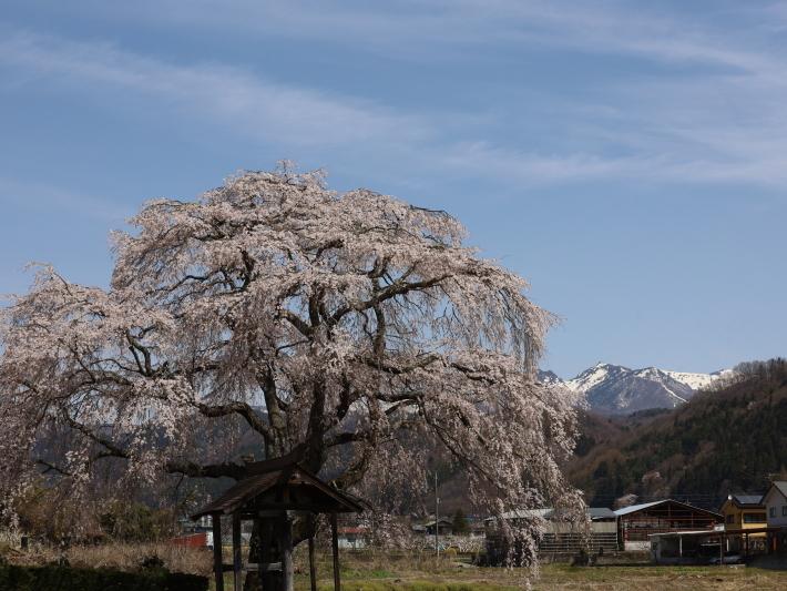 桜だより(26) 沼田市 天照寺のしだれ桜 (2021/4/8撮影)_b0369971_17024056.jpg