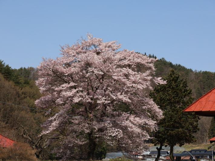 桜だより(26) 沼田市 天照寺のしだれ桜 (2021/4/8撮影)_b0369971_17025896.jpg