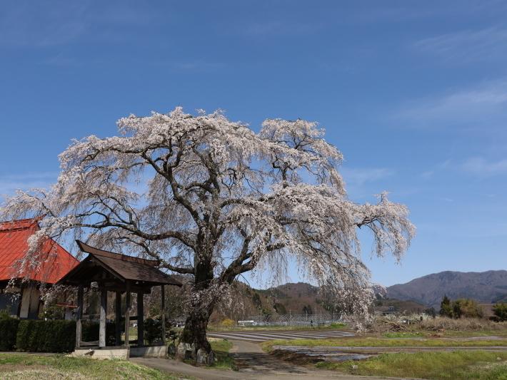 桜だより(26) 沼田市 天照寺のしだれ桜 (2021/4/8撮影)_b0369971_17031180.jpg