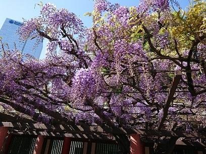 赤坂 日枝神社のまさる と 藤 - jujuの日々