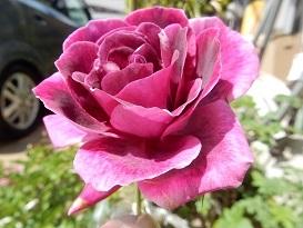 2021Apr.庭の花 2_a0350883_01520457.jpg