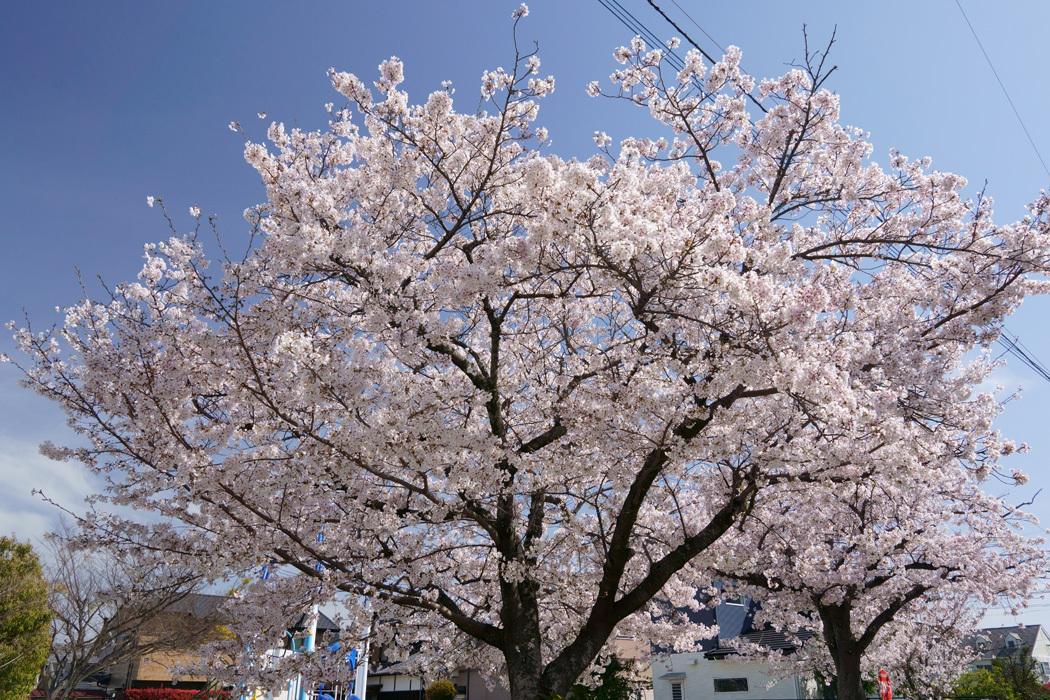 21.03.27:休日の昼前に室見川の桜散歩(前編)_c0007190_17432177.jpg