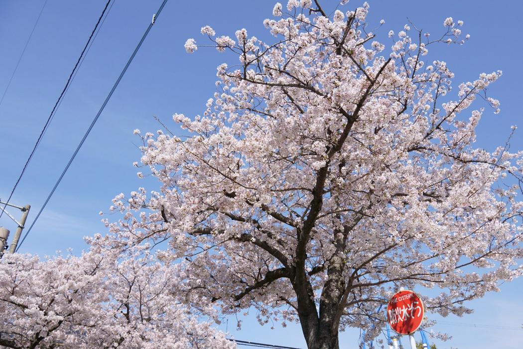 21.03.27:休日の昼前に室見川の桜散歩(前編)_c0007190_17433990.jpg