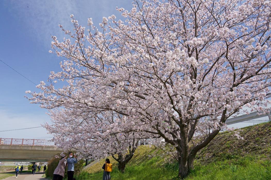 21.03.27:休日の昼前に室見川の桜散歩(前編)_c0007190_18015101.jpg
