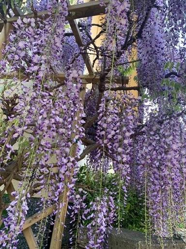 友人宅の藤の花を観に行きました_c0204121_22481609.jpg