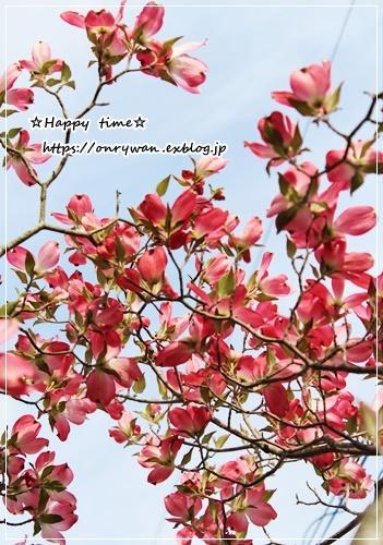 オムライス弁当と庭から・ピンク♪_f0348032_18253710.jpg