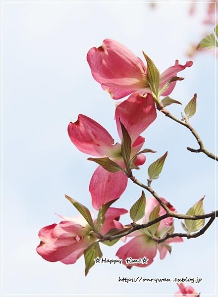 オムライス弁当と庭から・ピンク♪_f0348032_18254507.jpg