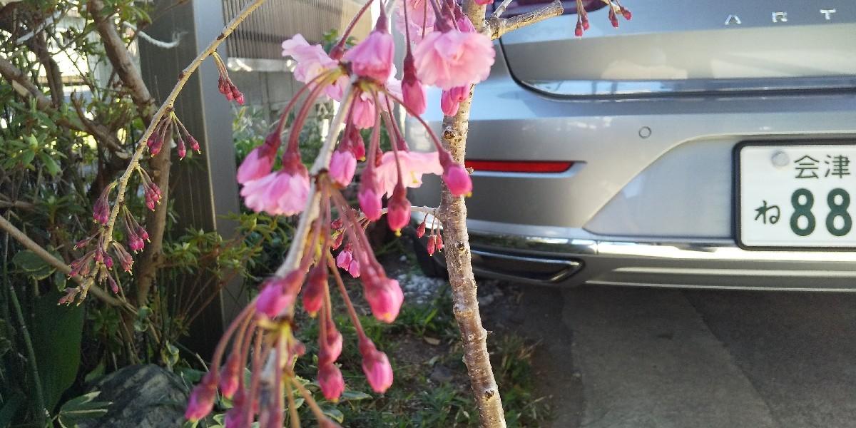 しだれ桜の苗木_e0130334_14445833.jpg