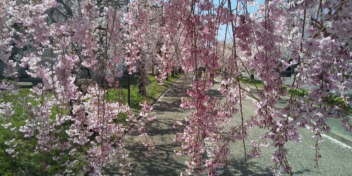 しだれ桜の苗木_e0130334_14490197.jpg