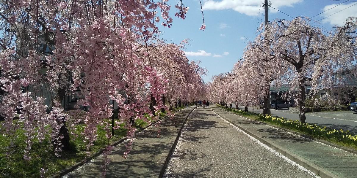 しだれ桜の苗木_e0130334_14490216.jpg