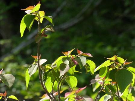 フジ開花。ツルカノコソウ_a0123836_17122003.jpg