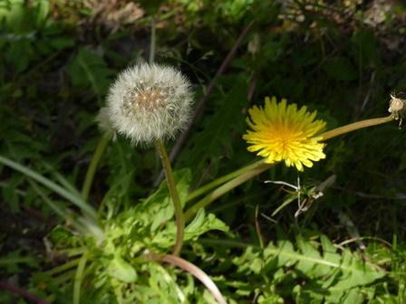 フジ開花。ツルカノコソウ_a0123836_17122094.jpg