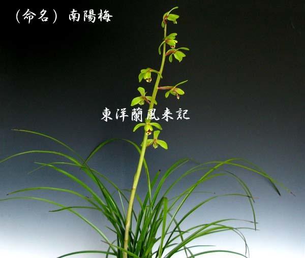 九華「南陽梅」          No.2092_d0103457_15390344.jpg