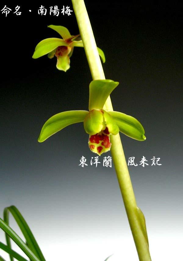 九華「南陽梅」          No.2092_d0103457_15391391.jpg