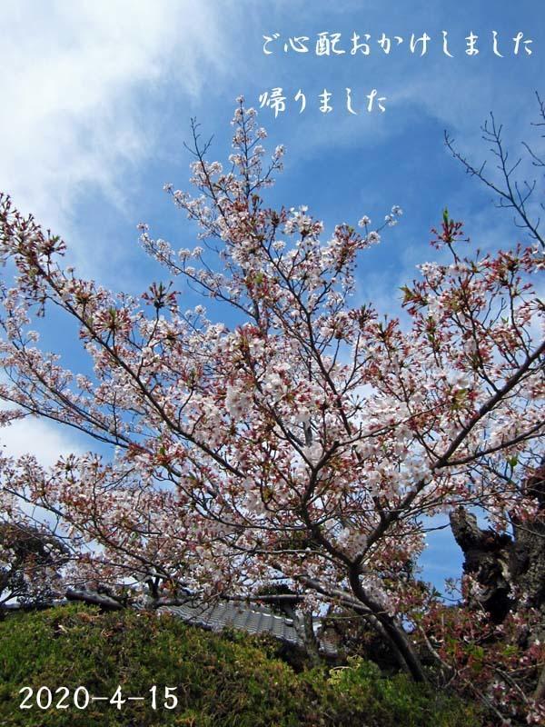 九華「南陽梅」          No.2092_d0103457_17493144.jpg