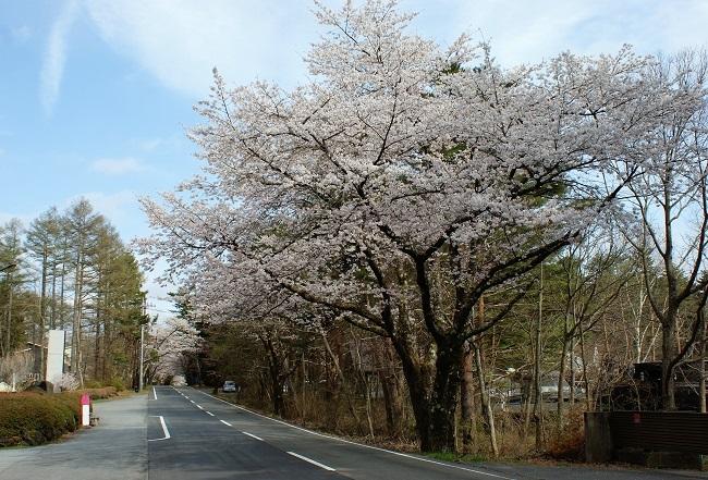 富士桜の開花_d0153860_16494814.jpg