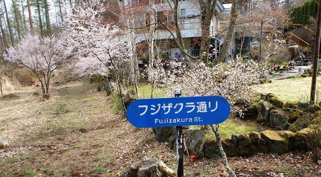 富士桜の開花_d0153860_16501348.jpg
