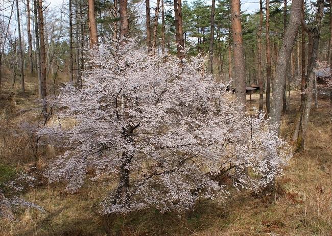 富士桜の開花_d0153860_16502040.jpg