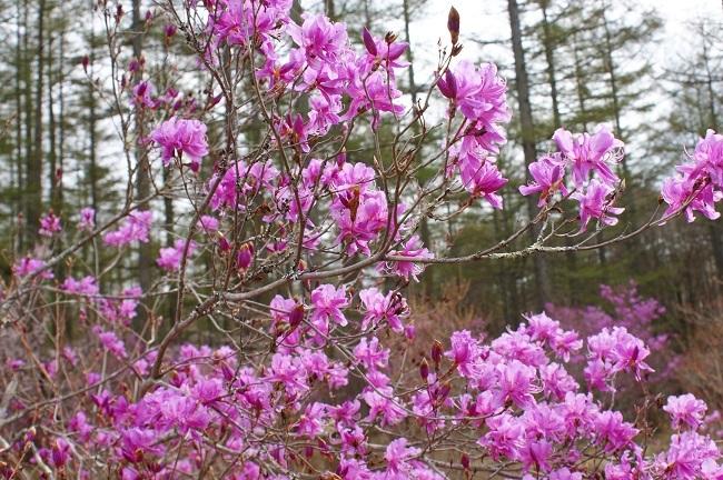 富士桜の開花_d0153860_16502371.jpg