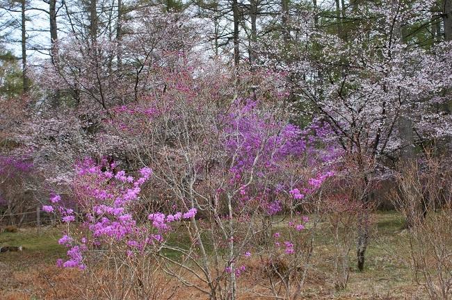 富士桜の開花_d0153860_16502864.jpg