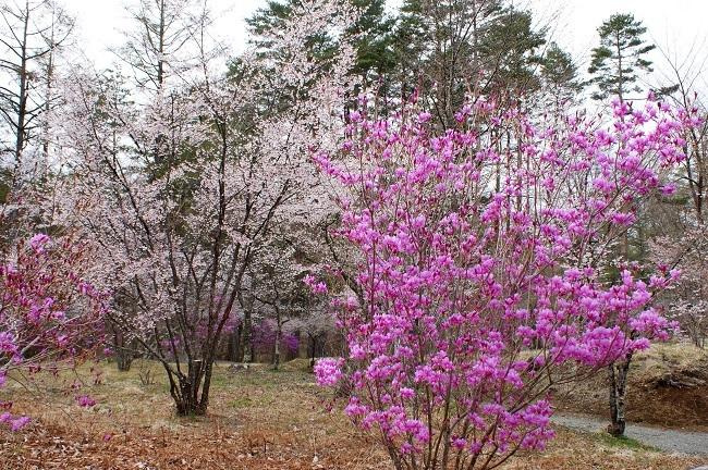 富士桜の開花_d0153860_16503117.jpg