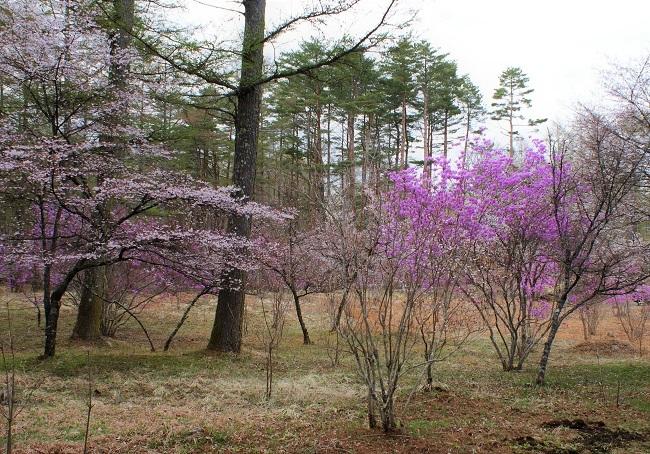 富士桜の開花_d0153860_16503319.jpg
