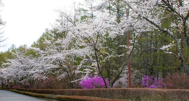 富士桜の開花_d0153860_16504033.jpg