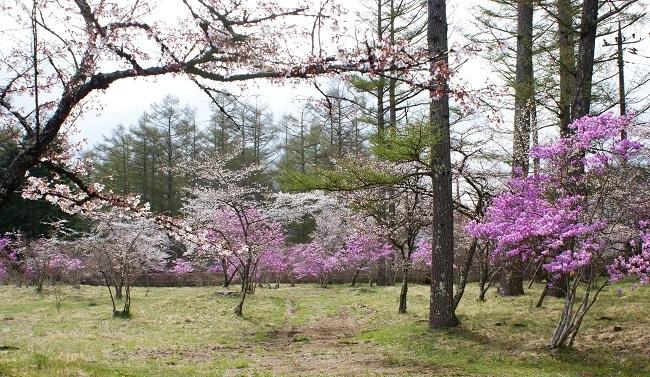 富士桜の開花_d0153860_16504714.jpg