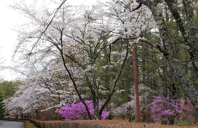 富士桜の開花_d0153860_16505555.jpg