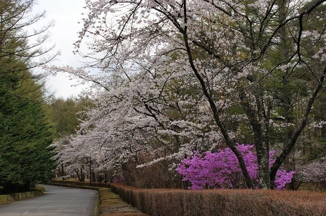 富士桜の開花_d0153860_16505718.jpg