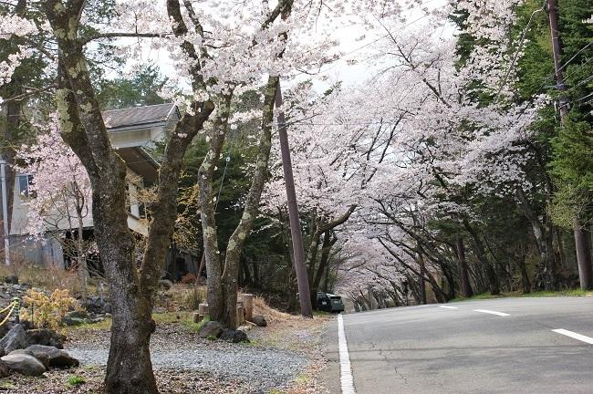 富士桜の開花_d0153860_16511032.jpg