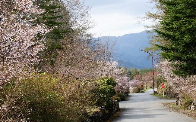 富士桜の開花_d0153860_16511385.jpg