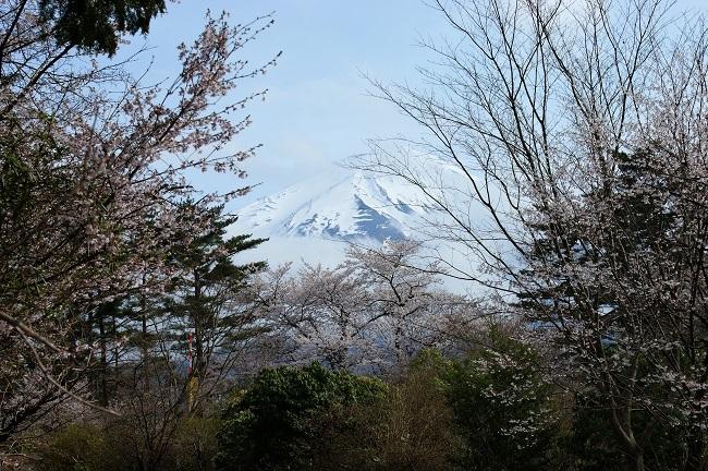 富士桜の開花_d0153860_16511524.jpg